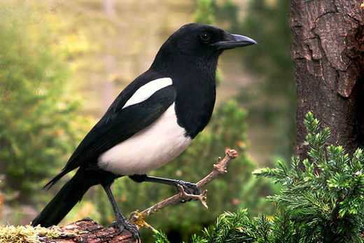 elster, magpie