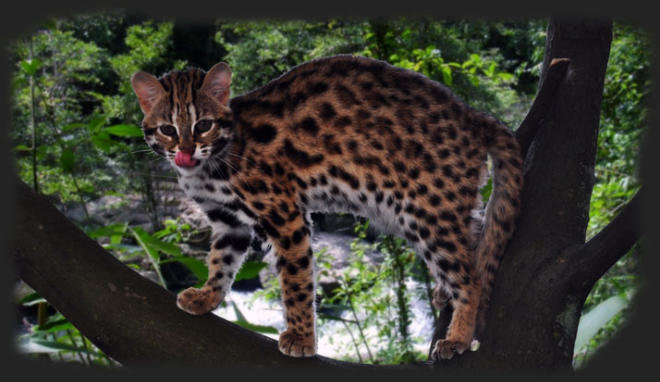 House Cat Breed Bengal