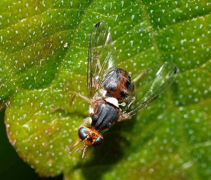 irrsinn tausende gentechnisch ver nderte insekten sollen freigelassen werden puppenspieler. Black Bedroom Furniture Sets. Home Design Ideas