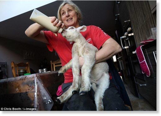 The tiny thing is seen at feeding time, being looked after one of the owner Angie Jewitt