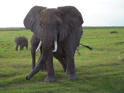 elefanten kommunizieren mit infraschall lauten. Black Bedroom Furniture Sets. Home Design Ideas