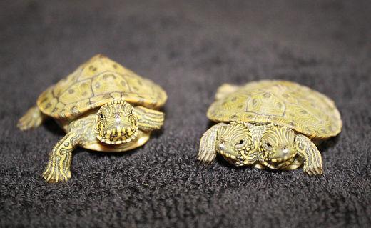bicéphale Schlidkröte