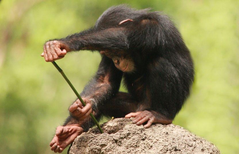fast schon menschlich schimpansen stellen speere her und jagen damit erdver nderungen. Black Bedroom Furniture Sets. Home Design Ideas