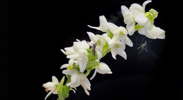clevere strategie zu welchem zweck imitiert diese orchidee den geruch von menschen. Black Bedroom Furniture Sets. Home Design Ideas