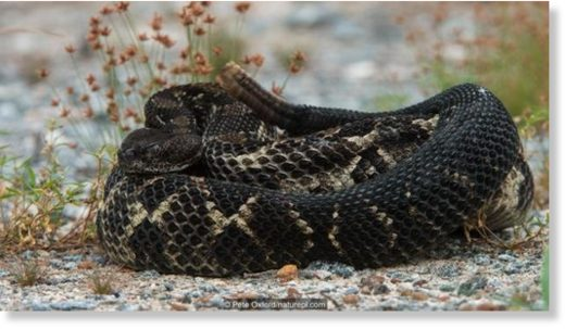 Timber rattlesnakes (Crotalus horridus) can be black