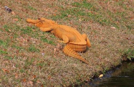 Oranger Alligator in South Carolina