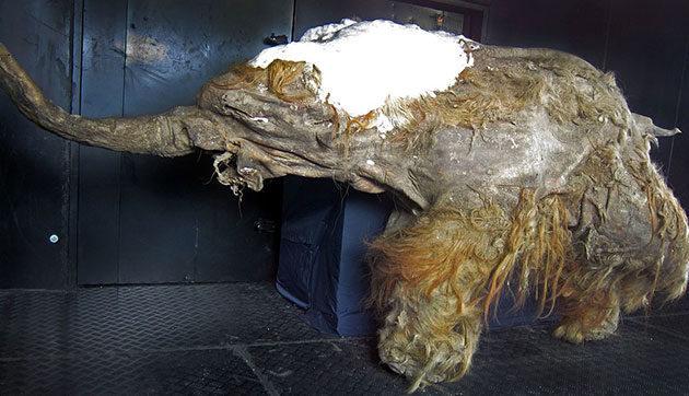 Mammut Klon