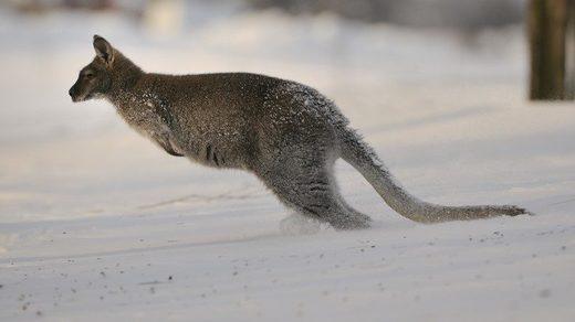 Känguru Schnee