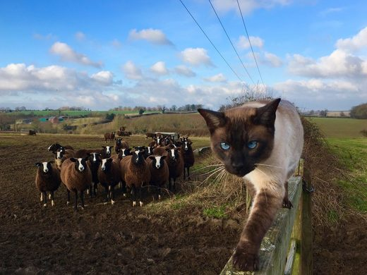 Sheep and Cat